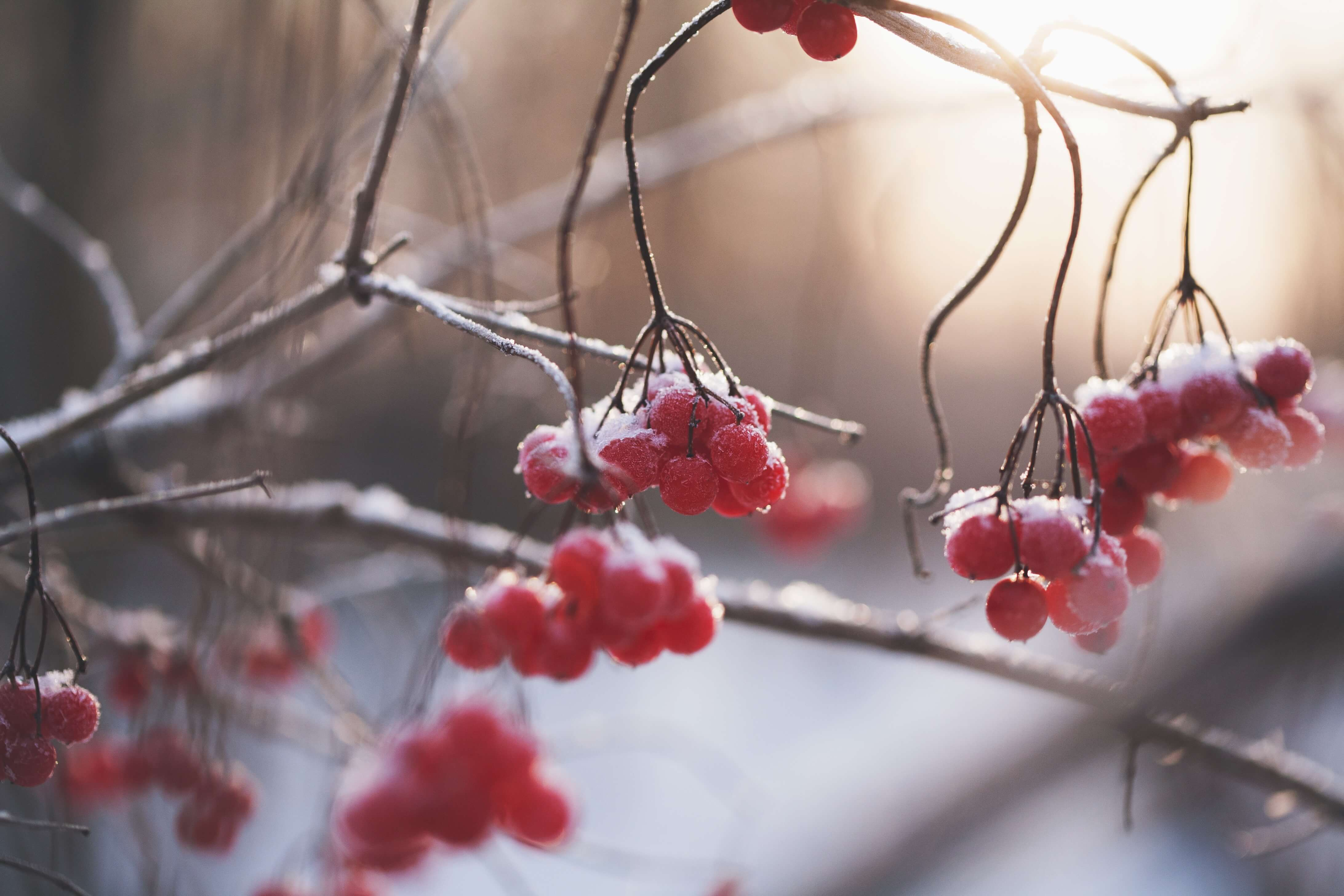 Red Berries Winter New Agency Partners Insurance Agency In